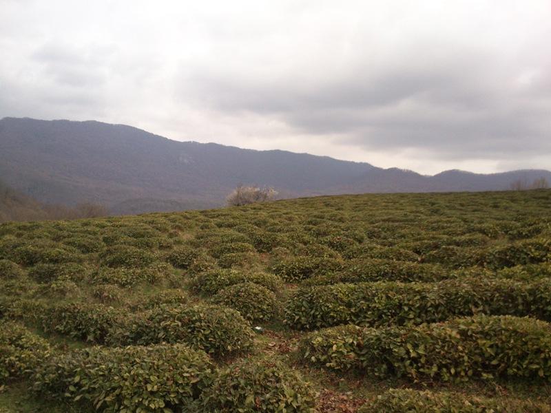 Чайные плантации Хоста-чай