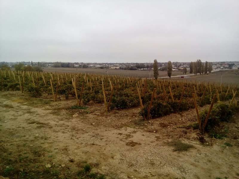 Виноградники в Крыму